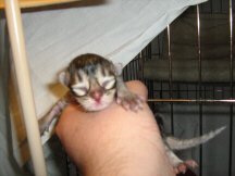 This is a black ticked tabby Tiffanie aged 2 days (orange-toes)