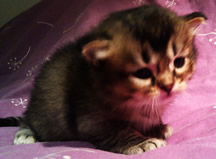 Black ticked tabby Tiffanie kitten aged 25 days