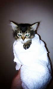 Tiffanie kitten after a bath