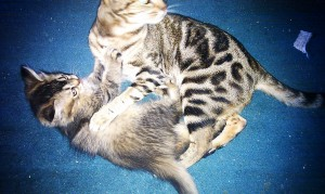 Tiffanie kitten & Ocicat Classic adult playing