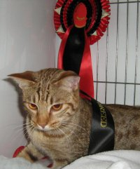 Ocicat winning at the Wyvern show