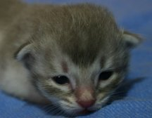 Tiffanie kitten aged 2 weeks