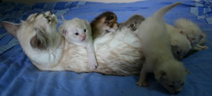 Tiffanie kittens aged 2 weeks, with their mum