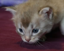 Tiffanie kitten aged 4 weeks - Kitten 2