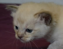 Tiffanie kitten aged 4 weeks - Kitten 4