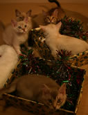 Five of the kittens in boxes filled with tinsel
