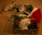 Five of the kittens in tinsel-filled boxes with a santa hat