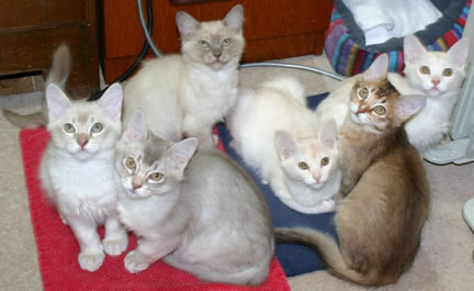 All six of the kittens on their heat pads