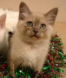 B-B at Christmas aged 10 weeks