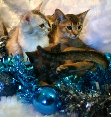 A kitten stack with Donny in the bottom eyeing up one of the baubles