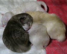 The four kittens cuddling up together at a few hours old