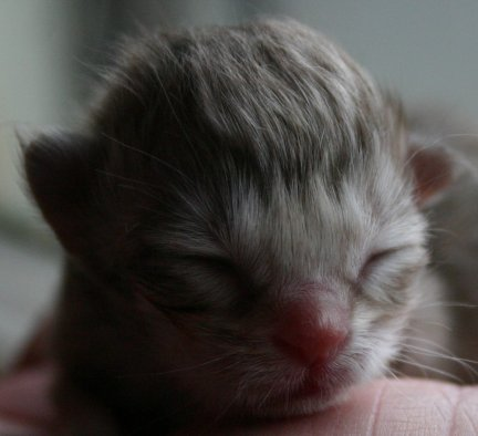 Kitten 2's cute little face at a day old