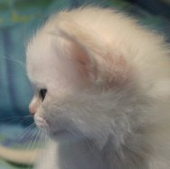 Kitten 3 stunning profile