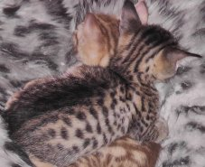 Kitten 5 - the Ocicat boy