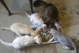 Sonia feeding with Fi's kittens