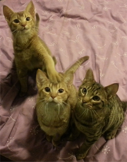 The three kittens who are still available - Becca (left), Carrie and Bru