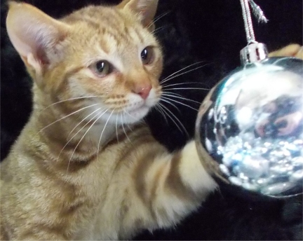 Cheeky playing with a Christmas tree bobble