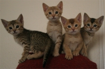 Kittens 3, 4, 5 and 6 at 7 weeks