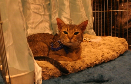 Kenga sitting in her pen, pretending to be an Abyssinian