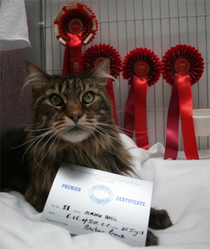 Call, a brown tabby Maine Coon in his pen, with Premier Certificate in front and red rosettes behind