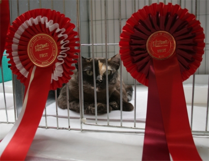 Quinn, a brown tortie Asian Smoke, looking out of her pen between her two red rosettes