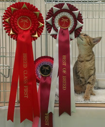 Bobbie sitting in the doorway of her pen, sniffing at her Best of Breed rosette, which is pinned beside the door