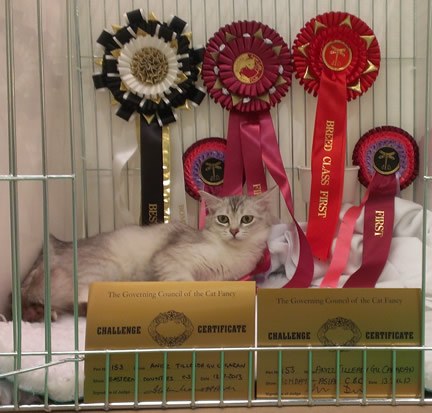 Tilly lying in her pen, surrounded by rosettes and prize cards - two CCs in the foreground, and a host of rosettes on the back wall