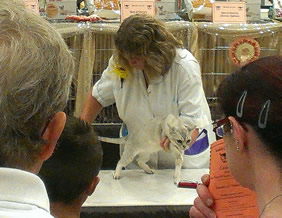 Sally Tokens checking the length of Tia's tail on the judging table in front of the Best in Show pens