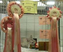 Tia sitting in her pen with the door open and a selection of rosettes hung around the door, whilst she sniffs at her Best of Breed medal