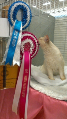 Dàrna sitting in her pen, with her rosettes and certificate attached to the pen door.  She is rubbing her face against her Imperial rosette