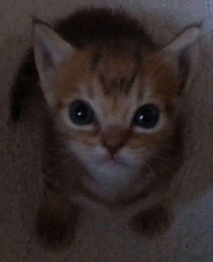 Eiteag's kitten sitting looking straight up at the camera with an alert expression on her face