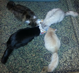 Four of the cats around one of the plates of Christmas Dinner