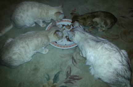 Three kittens and Ayla grouped around their plate of Christmas Dinner