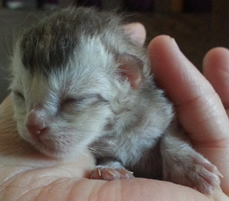 Kitten 1 in my hand at 12 hours old