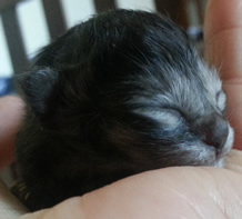 Kitten 2 nestling in my hand at 12 hours old