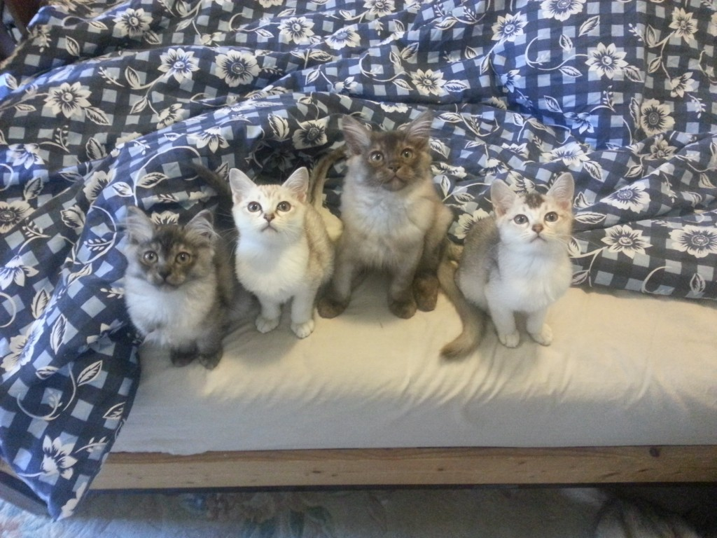 Tilly's four kittens in a row on the edge of the bed
